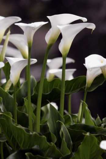 calla_lilies_for_easter